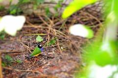 Pássaro adulto do passarinho de Gouldian que anda na terra do aviário Fotografia de Stock