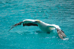 Pássaro africano de Gannet do cabo Imagem de Stock Royalty Free
