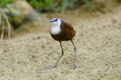 Pássaro africano do jacana do africana de Actophilornis Fotografia de Stock