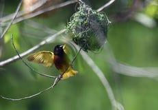 Pássaro africano do tecelão Fotos de Stock Royalty Free
