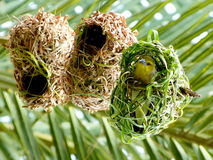 Pássaro africano do tecelão em seu ninho. Foto de Stock