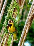 Pássaro africano do tecelão em seu ninho. Foto de Stock Royalty Free