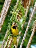 Pássaro africano do tecelão em seu ninho. Fotografia de Stock Royalty Free