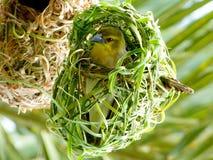 Pássaro africano do tecelão em seu ninho. Fotografia de Stock