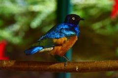 Pássaro africano lustroso Fotos de Stock Royalty Free