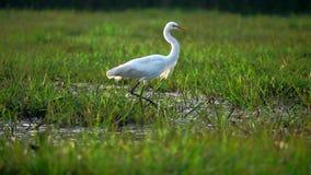 Pássaro alba do Ardea branco do Egret na natureza em Thale Noi Waterfowl Reserve Lake, Tailândia vídeos de arquivo