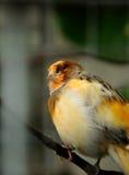 Pássaro amarelo Fotografia de Stock Royalty Free