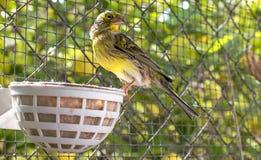 Pássaro amarelo dentro de uma gaiola dos fios de aço foto de stock royalty free