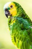 pássaro Amarelo-dirigido das Amazonas Foto de Stock