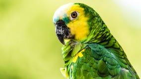 pássaro Amarelo-dirigido das Amazonas Imagens de Stock Royalty Free