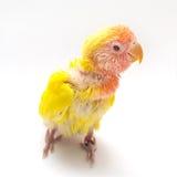 Pássaro amarelo do amor do bebê Foto de Stock Royalty Free