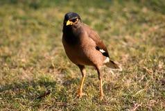 Pássaro amarelo do bico Fotografia de Stock