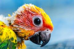 Pássaro amarelo do papagaio Fotografia de Stock Royalty Free