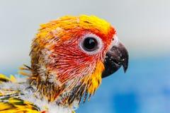 Pássaro amarelo do papagaio Fotos de Stock