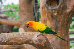 Pássaro amarelo do papagaio, conure do sol Foto de Stock Royalty Free
