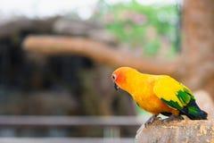 Pássaro amarelo do papagaio, conure do sol Fotos de Stock Royalty Free