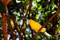Pássaro amarelo do passarinho Fotos de Stock Royalty Free