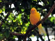 Pássaro amarelo do passarinho Fotografia de Stock