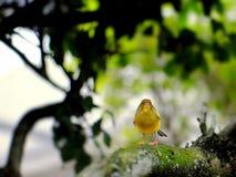 Pássaro amarelo do passarinho Fotos de Stock