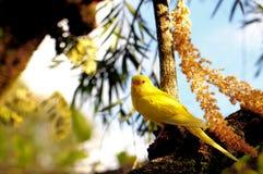 Pássaro amarelo do periquito australiano Foto de Stock Royalty Free