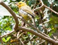 Pássaro amarelo do tecelão empoleirado em um ramo Fotografia de Stock