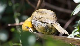 Pássaro amarelo do tecelão que mastiga em um ramo Imagens de Stock