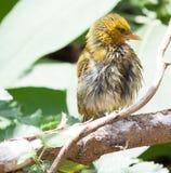 Pássaro amarelo do tecelão que senta-se no ramo Imagem de Stock