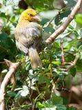 Pássaro amarelo do tecelão que senta-se no ramo que olha alerta Foto de Stock Royalty Free
