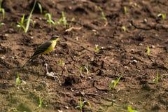 Pássaro amarelo do Wagtail Fotografia de Stock Royalty Free