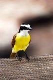 Pássaro amarelo e marrom de grande Kiskadee Foto de Stock Royalty Free