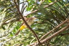 pássaro Amarelo-exalado do bulbul Imagens de Stock Royalty Free