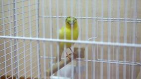 Pássaro amarelo na gaiola vídeos de arquivo