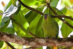 Pássaro Amarelo-naped do papagaio que senta-se em uma filial Fotos de Stock
