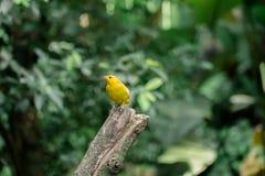 Pássaro amarelo pequeno Fotos de Stock