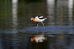 Pássaro americano do Avocet Fotos de Stock
