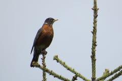 Pássaro americano orgulhoso do pisco de peito vermelho em uma árvore Foto de Stock