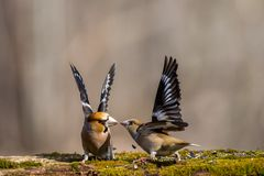 Pássaro, amor, natureza, animais selvagens, selvagens, luta, cor, verão, animais imagem de stock royalty free