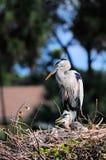 Pássaro & pintainhos da garça-real em seu ninho Foto de Stock Royalty Free