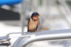 Pássaro, andorinha de celeiro Imagens de Stock