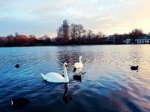 Pássaro animal romântico do cisne novo bonito Imagem de Stock