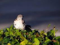 Pássaro após o banho Imagens de Stock