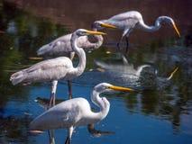 Pássaro aquático Fotografia de Stock