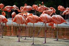 Pássaro aquático do flamingo Foto de Stock