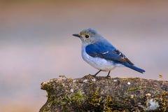 Pássaro azul bonito que empoleira-se no ramo foto de stock