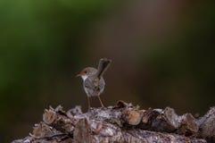 Pássaro azul da carriça que situa em uma pilha da madeira fotografia de stock