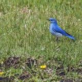 Pássaro azul da montanha na grama fotografia de stock