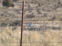 Pássaro azul das queimaduras Oregon foto de stock