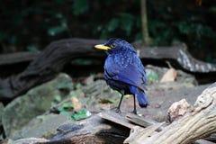 Pássaro azul do Assobiar-tordo imagem de stock royalty free
