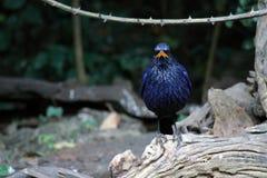 Pássaro azul do Assobiar-tordo Fotos de Stock Royalty Free