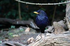 Pássaro azul do Assobiar-tordo fotografia de stock